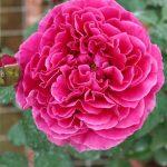 'Kate' Rose » Flowering Plants