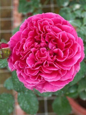 'Kate' Rose