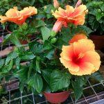 Hibiscus New Apollo