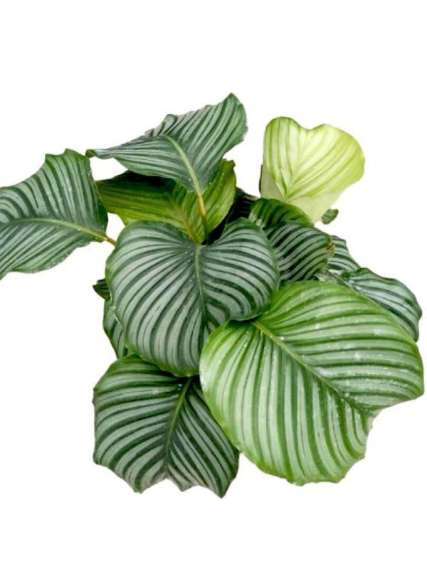 Orbifolia (Big Pot) » Foliage