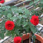 'Red Apple' Rose