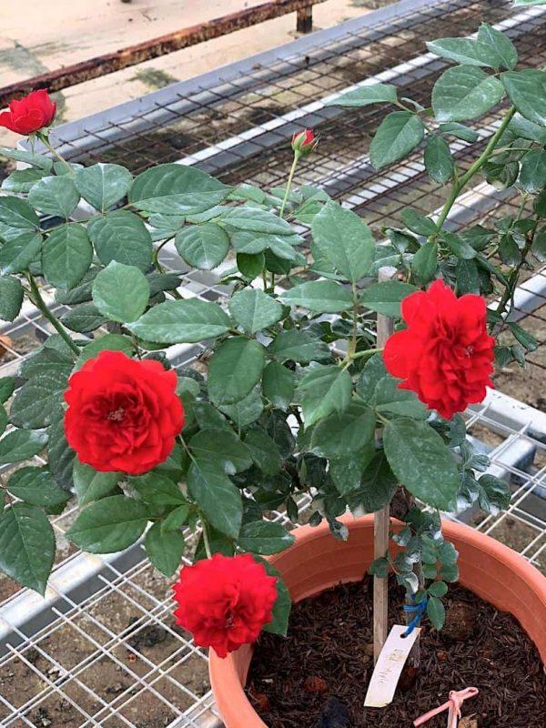 'Red Apple' Rose Plant » Rose Plants