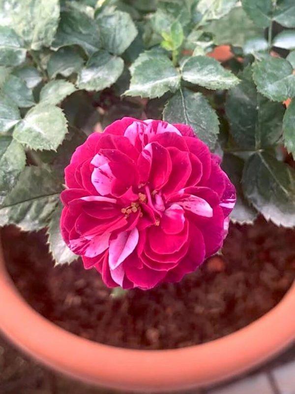 'Scented Jewel' Rose » Rose Plants