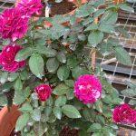 'Scented Jewel' Rose