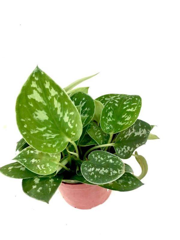 Scindapsus Pictus 'Argyraeus' - Satin Pothos / Silver Pothos / Silver Vein / 'Sliver' Philodendron » Exotic Foliage