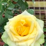 'St. Patrick' Rose » Rose Plants