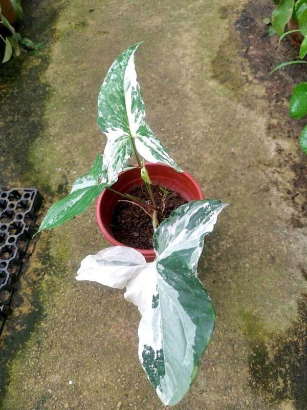 Syngonium Variegated » Foliage