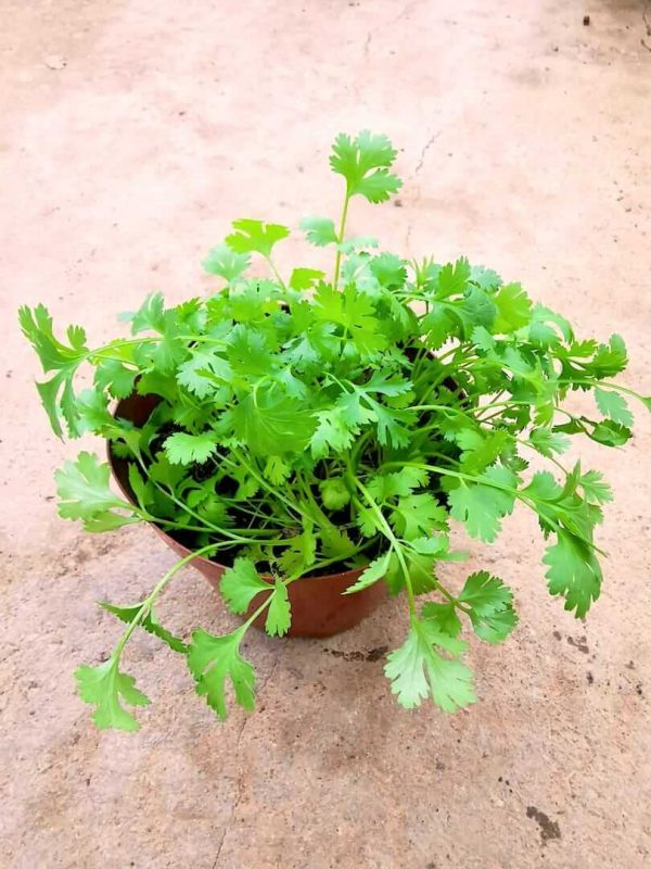 Coriander Plant » Herbs 'n' Spices