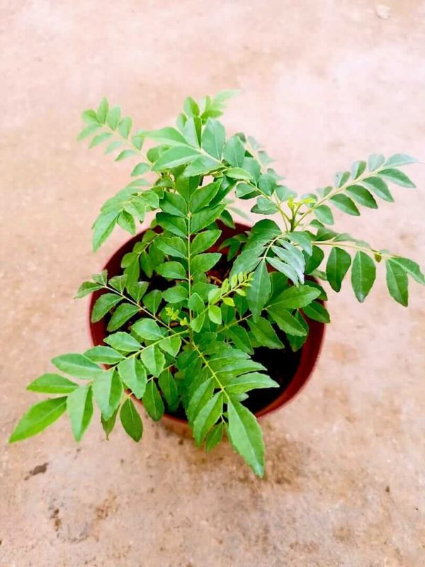 Curry Leaf Plant for Sale » Herbs 'n' Spices