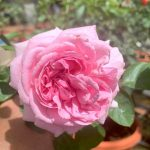 'Eve Sion' Rose
