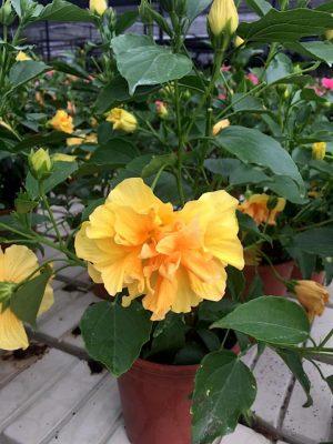 Hibiscus Laluna Yellow