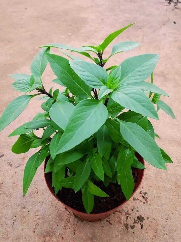 Thai Basil Plant » Herbs 'n' Spices