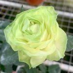 'Wakana' Rose