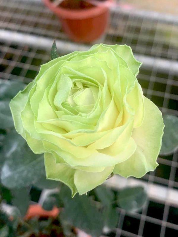 'Wakana' Rose » Flowering Plants
