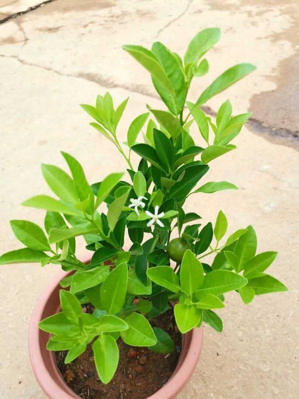 Lime Plant Flowers - Pot 23 cm (d) » Fruit Trees