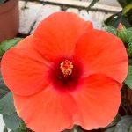 Hibiscus Adonicus Orange