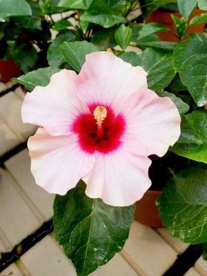 Hibiscus Adonicus Rosa