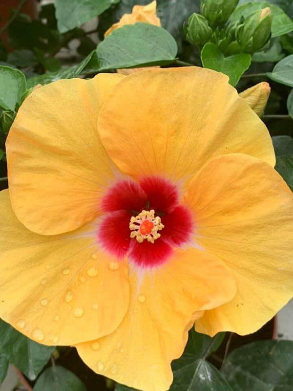 HibisQs® - Adonicus Yellow Hibiscus » Flowering Plants