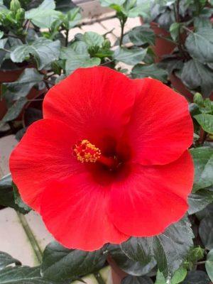 Hibiscus Afrodite Red