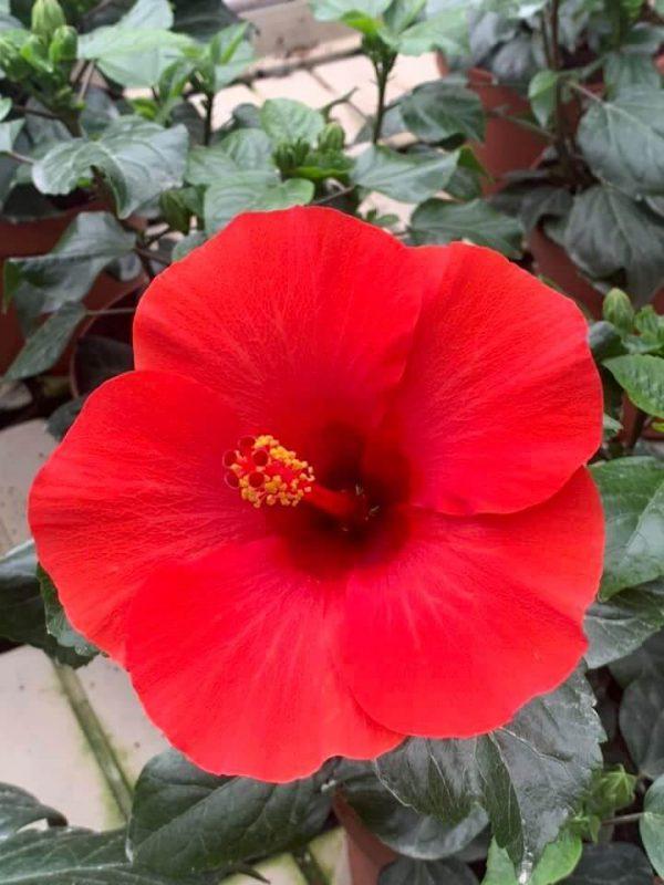 HibisQs® - Afrodite Red Hibiscus » Flowering Plants