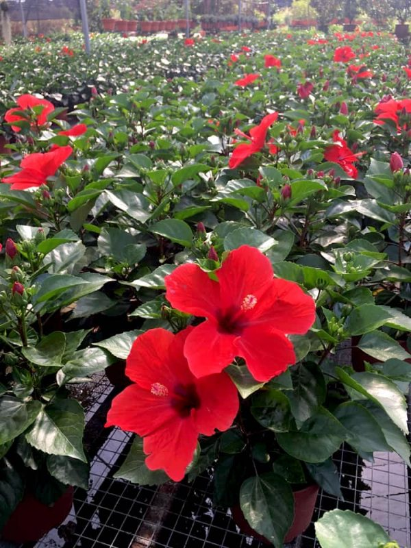 HibisQs® - Arionicus Hibiscus » Flowering Plants
