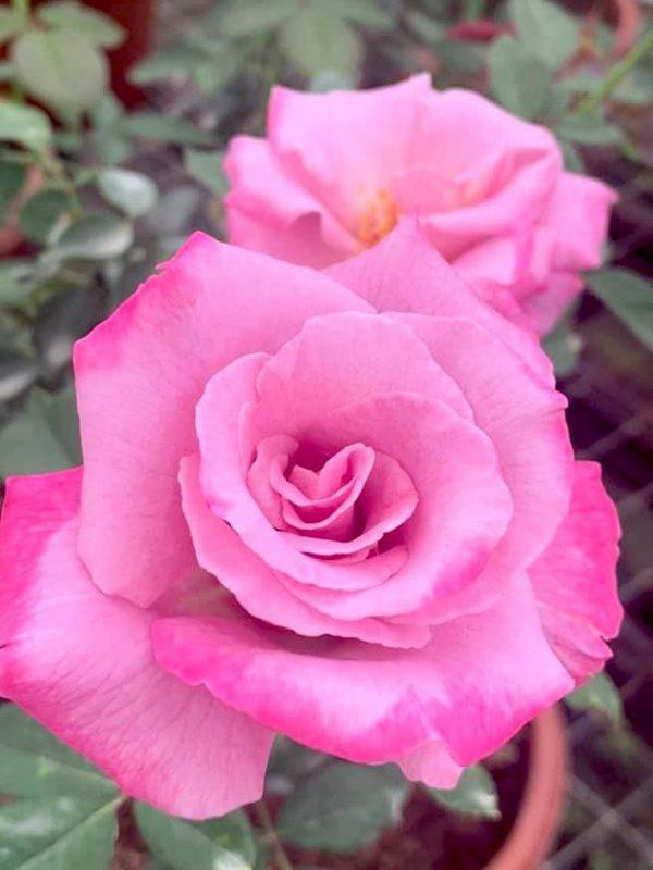 Rosa 'Azure Sea' » Rose Plants