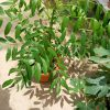 Buah Long Long / Ke Dong Dong » Fruit Trees