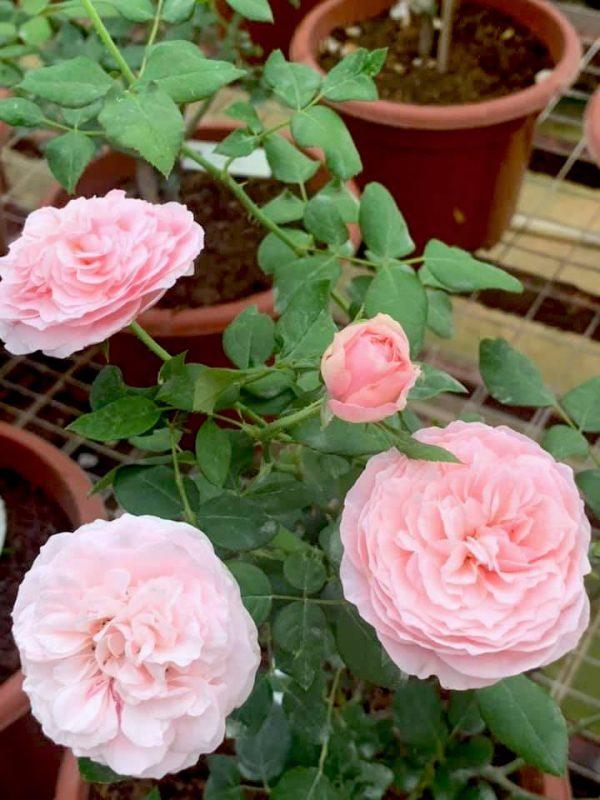 'Carey' Roses » Rose Plants