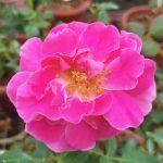 'Chulalongkorn' Rose » Rose Plants