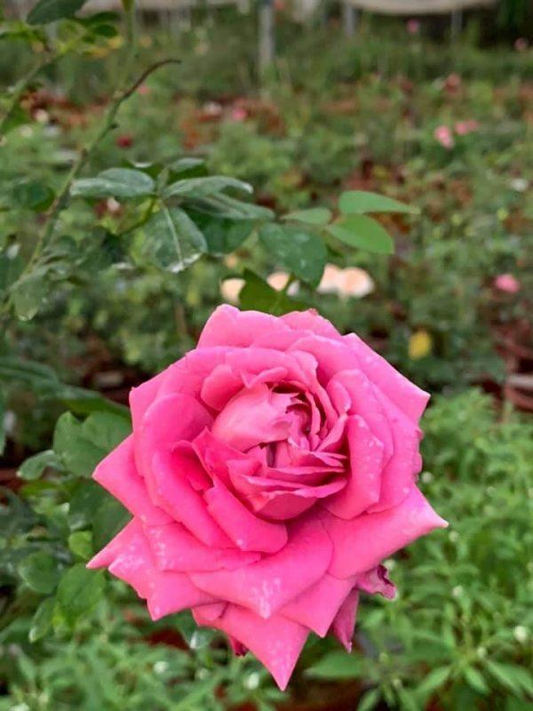 'Claude Brasseur' Rose