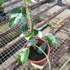 Epipremnum Pinnatum Variegata » Exotic Foliage