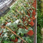 Epipremnum Pinnatum Variegated Plants @ Teo Joo Guan Plant Nursery