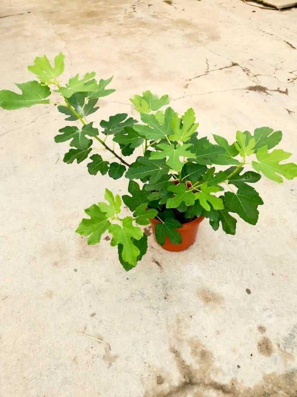 Fig Plant (Ficus Carica) » Fruit Trees