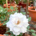 'Gabriel' Rose