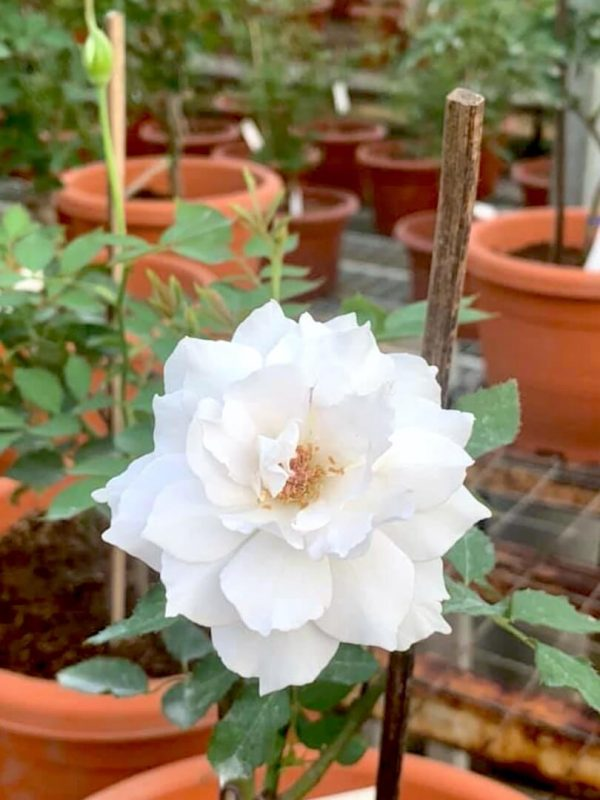 Japanese Rose 'Gabriel' » Rose Plants