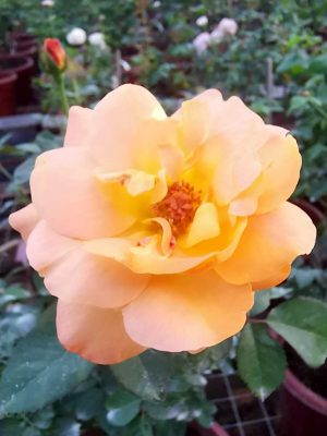 'Good as Gold' Rose