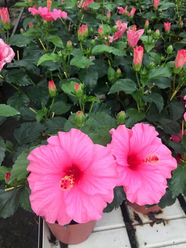 HibisQs® - Juno Hibiscus » Flowering Plants