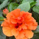 Hibiscus Laluna Orange