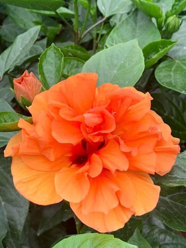 HibisQs® - Laluna Orange Hibiscus » Flowering Plants