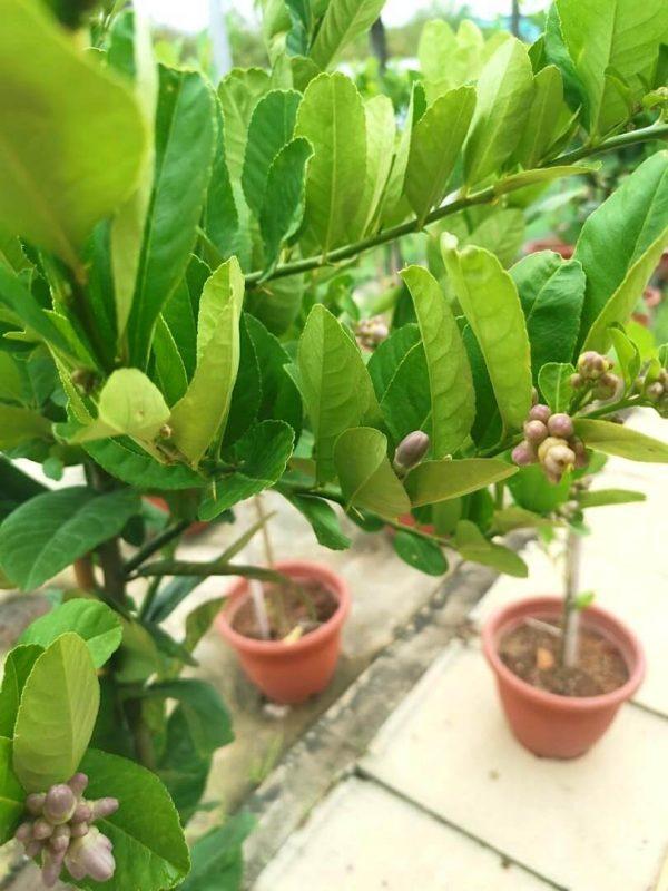 Lemon Tree Fruit Buds » Fruit Trees