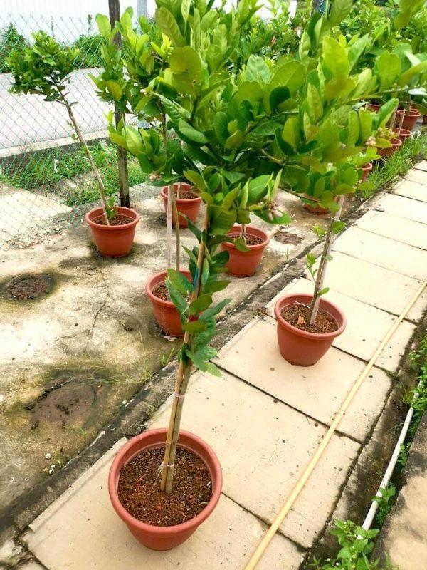 Lemon Tree Height approx. 1.7 m » Fruit Trees
