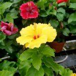 Hibiscus Nyx