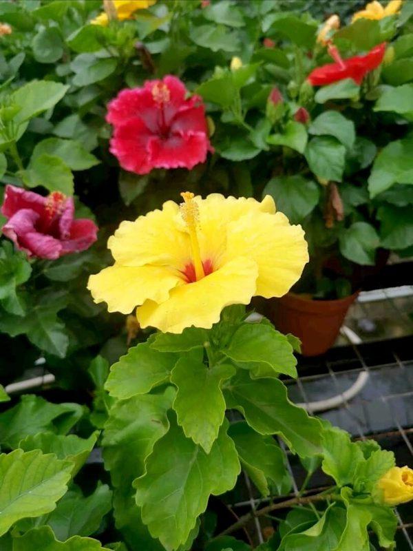 HibisQs® - Nyx Hibiscus » Flowering Plants