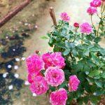 'Gartendirektor Otto Linne' Rose