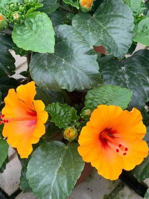 Hibiscus Petit Sunrise