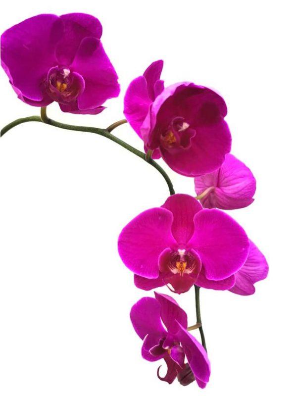 Phalaenopsis Moth Orchid 1 » Flowering Plants