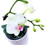 Phalaenopsis Moth Orchid 10 » Flowering Plants