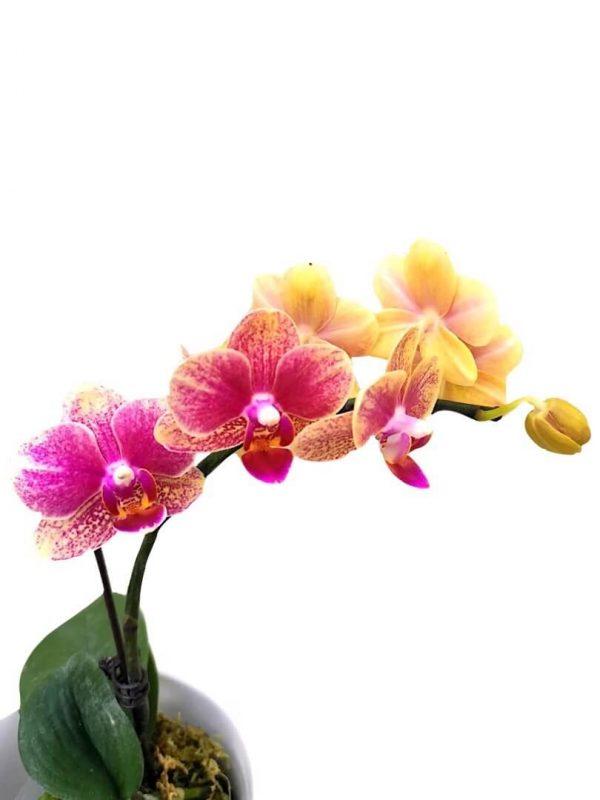 Phalaenopsis Moth Orchid 2 » Flowering Plants