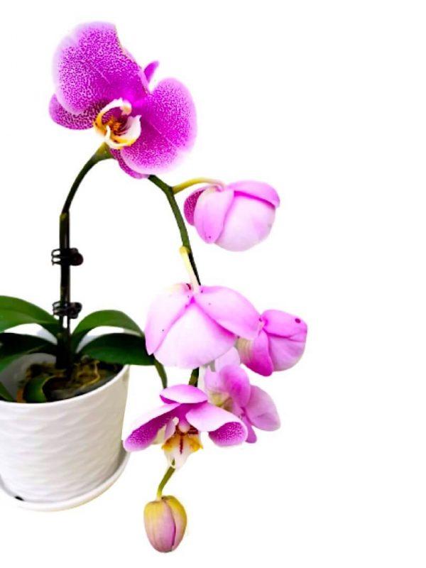 Phalaenopsis Moth Orchid 4 » Flowering Plants