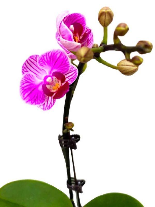 Phalaenopsis Moth Orchid 5 » Flowering Plants